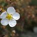 Dasiphora fruticosa, Mckay's White' cultivar, Canada