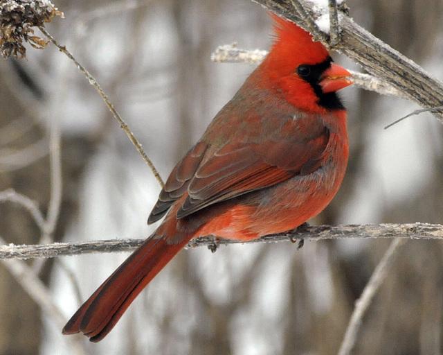 january cardinal tc CSC 1607
