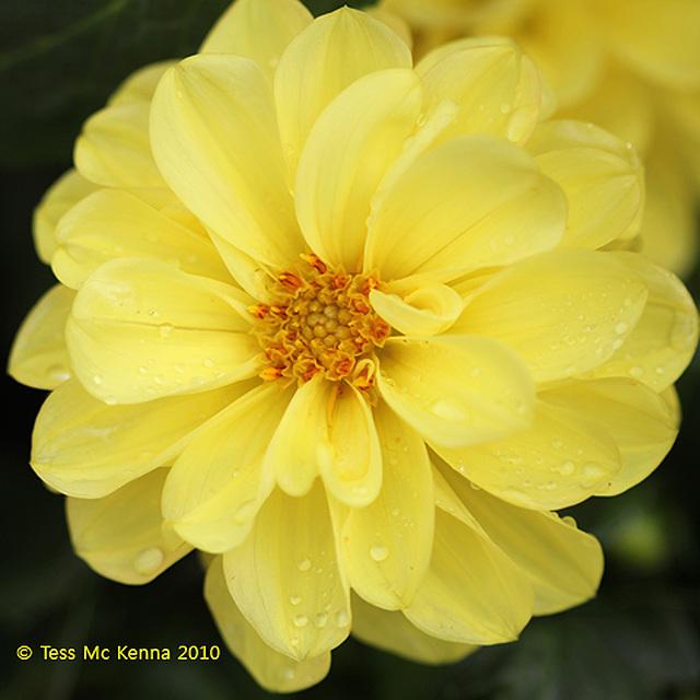 Dahlia  2010 550 041