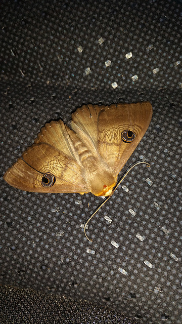 Adelaide Hills speciment