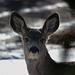 Mule Deer looking in our window