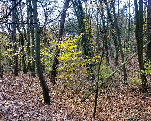 Herbstlaub im Wald von Falkenstein // -herbstwald-06002