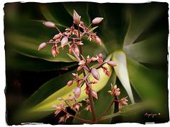 Kalanchoe laxiflora ???  HFF..................!