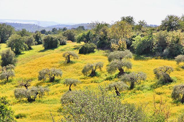 Olivenhain und gelbe Margeritenwiese - Sizilien