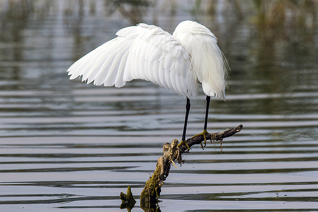 La belle aigrette.