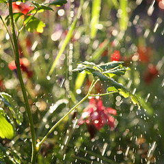 IMG 2615 rain a sunny day