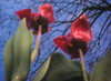 Pinhole Tulips under the Tree (without lens)