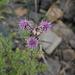 Cirsium arvense, Canada L1010150
