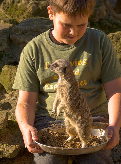 Meercat feeding time