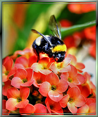 Earth bumblebee on the nectar pot... ©UdoSm