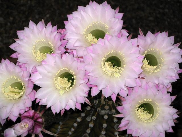 Sept Echinopsis Oxygona (cactus de Bolivie))