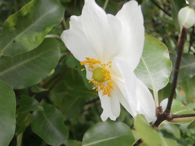 Anemone among the pittosporum