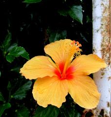 Flava hibisko
