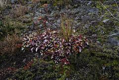 Arctostaphylos uva-ursi, Canada L1010125