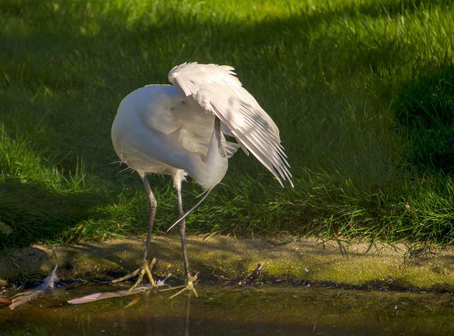 Egret preening