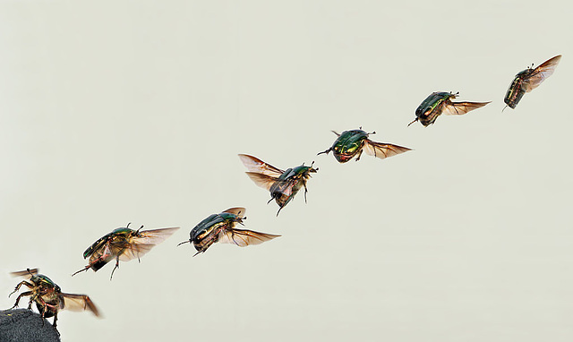 Flug des Rosenkäfer. Aus Wikimedia.