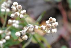 Anaphalis margaritacea, Canada