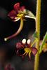 Cleome violacea, Brassicales