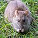 A rat at  RSPB Burton wetlands
