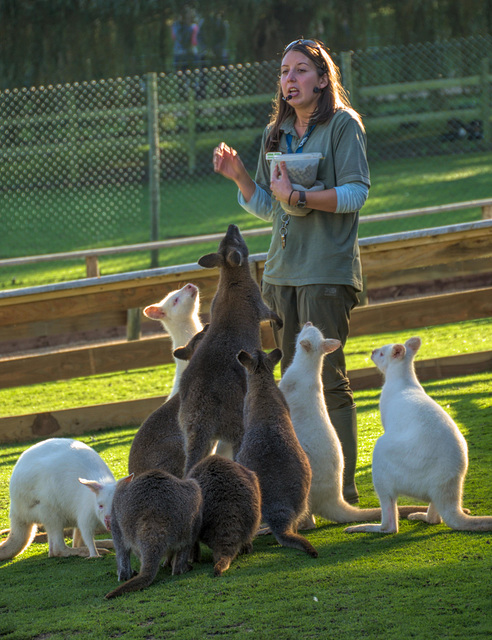 Wallaby feeding time
