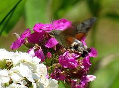 Kolibra papilio