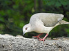 Day 6, White-tipped Dove / Leptotila verreauxi