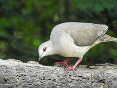 Day 6, White-tipped Dove / Leptotila verreauxi