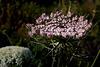 Daucus carota, Apiaceae