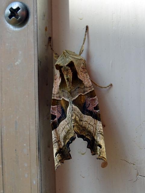 Agaatvlinder , Phologophora meticulosa
