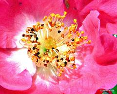 Rosy Rose.