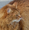 CHAT LION / LION CAT