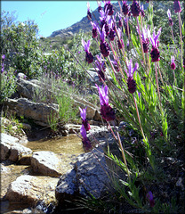 Lavender and mountain stream