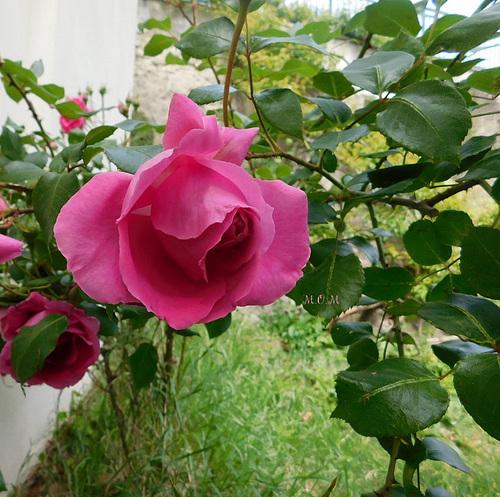 Rose pour toutes mes amies ipernityciennes et les autres****************