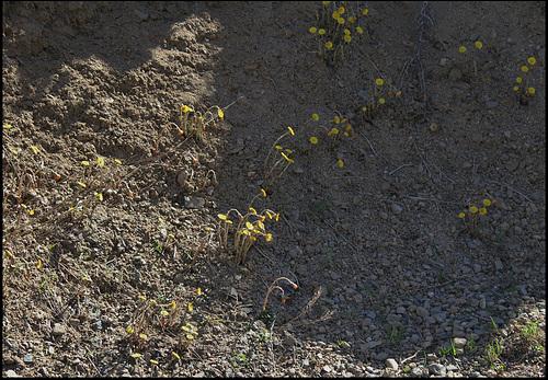 Tussilago farfara (2)