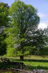 cyprès chauve dans le parc du château de la Grange - Lapeyrouse - Ain