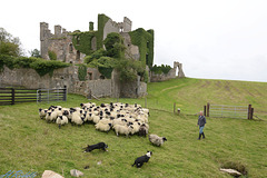 Sheep roundup at Clifden Castle