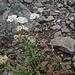 Achillea millefolium, Canada L1010133