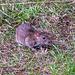 A rat under some bird feeders