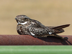 Common Nighthawk / Chordeiles minor - threatened species