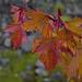Acer rubrum, Canada L1010165