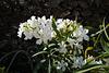 Nerium oleander, Apocynaceae