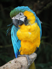 Ara bleu = Ara bleu et jaune = Ara ararauna, Parc des Oiseaux, Villars-les-Dombes (Ain, France)