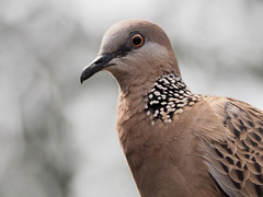 Eastern Spotted Dove