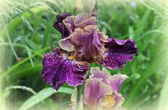 Un iris pour Marie-Claire