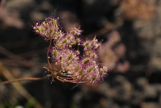 Oenanthe crocata, Apiaceae