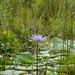 Uganda, One Lotus on the Wetlands of Mabamba