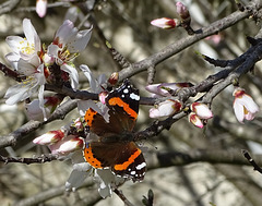 ...amandier et vulcain :le printemps approche...