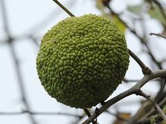 Fruit d'un oranger des Osages, Parc des Oiseaux = Parc ornithologique des Dombes, Villars-les-Dombes (Ain, France)
