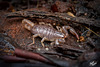 Pictures for Pam, Day 154: Young Northwest Forest Scorpion