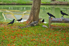 Monitor lizard defending his meal against a murder of crows in Lumphini park in Bangkok, Thailand